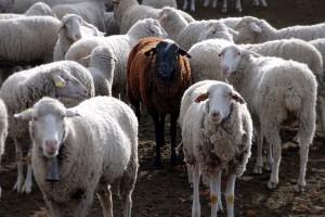 Schwarzes Schaf by Jesus Solana