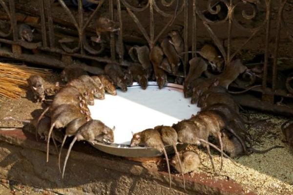 Ratten in Indien
