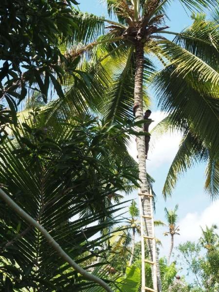 Ayurvedakur in Kerala - Kokospalmen im Somatheeram