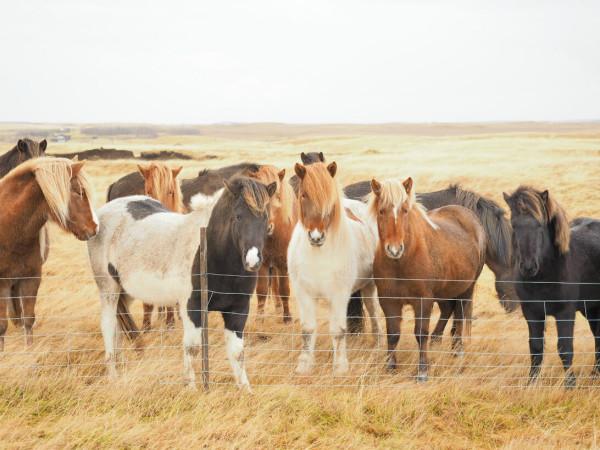 Island Isländer Pferde