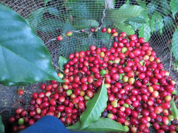 Kaffeeernten auf Hawaii - einer von vielen Wegen via Workaway zu arbeiten