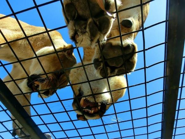 Christchurch Zoo im Löwenkäfig (1) (1)
