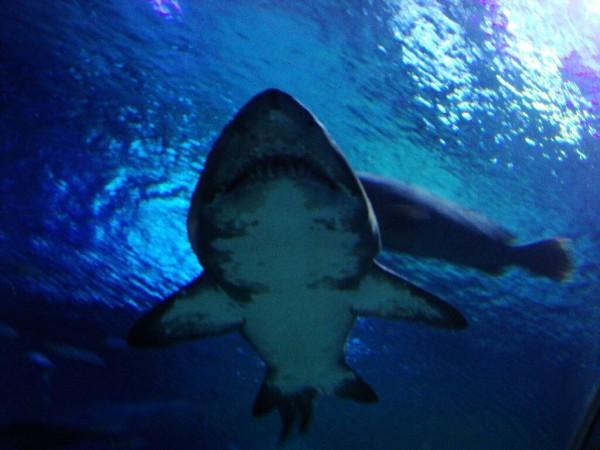 Hai im Aquarium