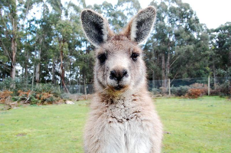 Kangaroo Australien