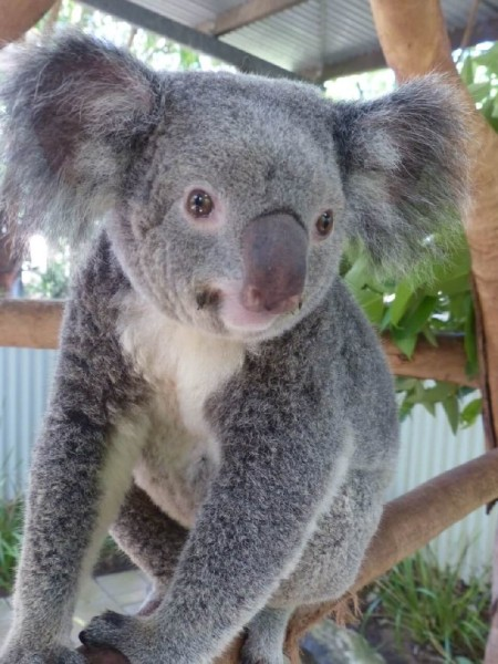 Work and Travel Australien Wildlife Ranger Koala