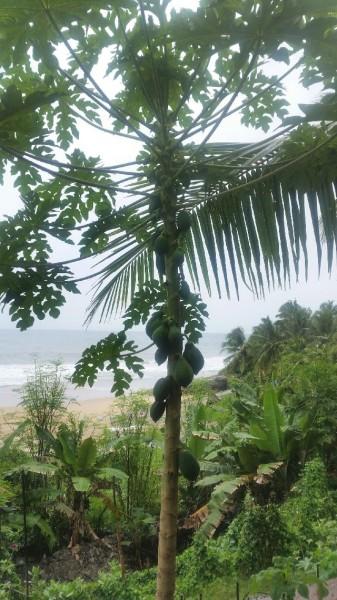 So sieht ein Papayabaum aus.