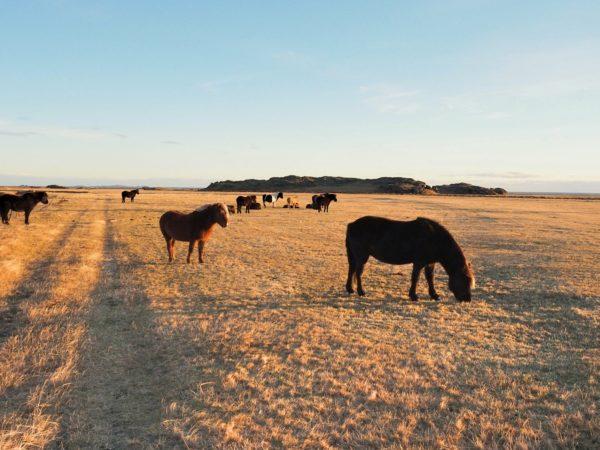 Island Roadtrip im Winter Ostküste Pferde